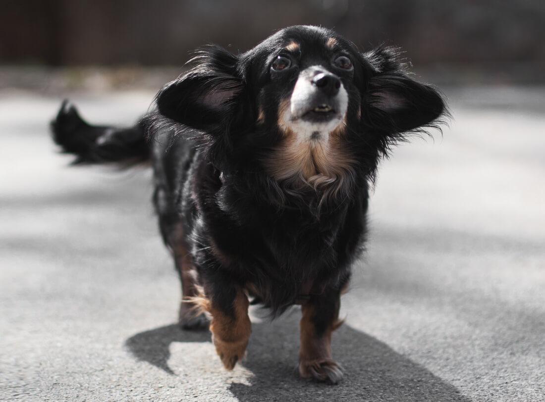 Fipsi the Dachshund, Dackel, Mischling, adopt don't shop, Alexandra Stalzer, Jolly Schwarz, Die Stadthunde, Wien, Hunde, Portraits, Lifestyle, Stadt